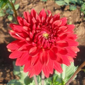 kalo ini bunga Dahlia kayanya